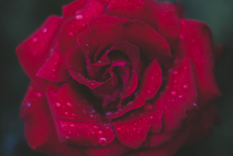 A Cherished Rose